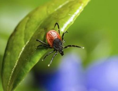 Kullancscsípéshez társuló fertőzések